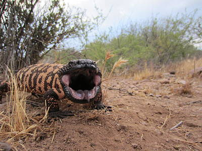 Wildlife Photograph - Angry Gila by Chuck Brown