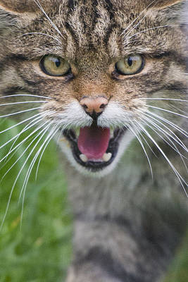 Angry Scottish Wildcat Original by Noodlepix