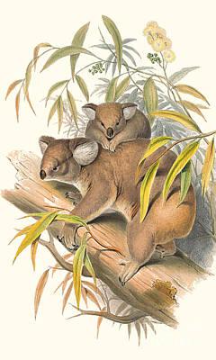 Koala Painting - Animals Of Australia The Koala by John Gould