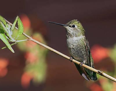 Pause Photograph - Anna's Hummingbird - Perched by Nikolyn McDonald