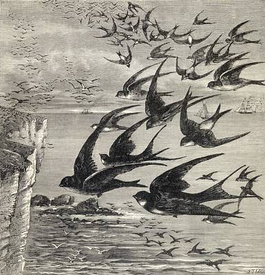 Swallow Drawing - Annual Migration Of Swallows. From The by Vintage Design Pics