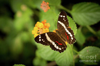 Fluttering Photograph - Another Day, Another Butterfly by Ana V Ramirez