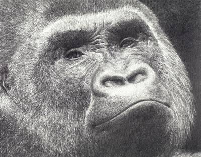 Gorilla Drawing - Another Pretty Face by Sarah Vaughn