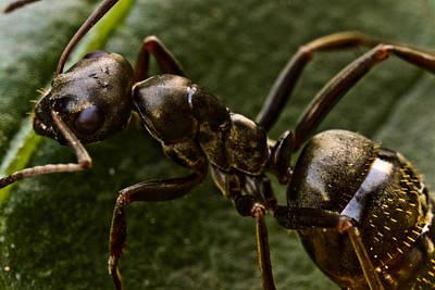 Ant On A Leaf Print by Ryan Kelly