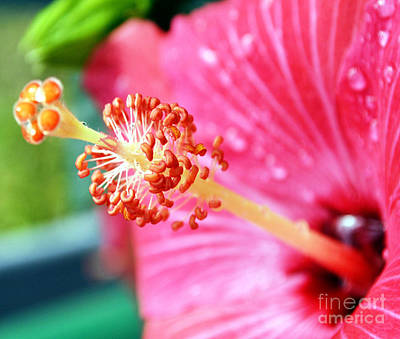Anthers And Flaments On Hibiscus Print by Eva Thomas