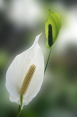 Anthurium Photograph - Anthurium Ark Flower by Art Spectrum