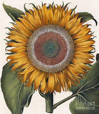 Antique Sunflower Print Print by Basilius Besler