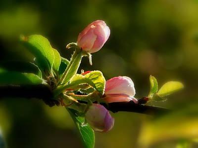 Evangeline Photograph - Apple Blossom Time by Karen Cook