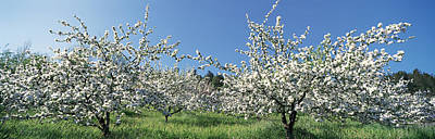 Apple Blossom Trees Norway Print by Panoramic Images