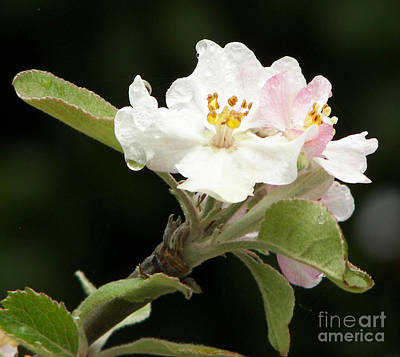 Floral Photograph - Apple Blossoms2 by Sue Gardiner