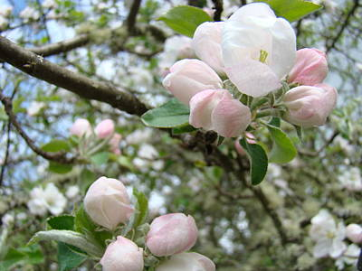 Apple Tree Blossoms Art Prints Apple Blossom Buds Baslee Troutman Print by Baslee Troutman