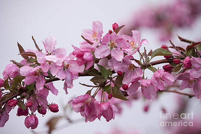 Flower Photograph - Apple Tree Blossoms by Carolyn Brown