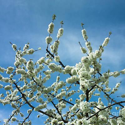 Apple Tree In Blossom Print by Bernard Jaubert