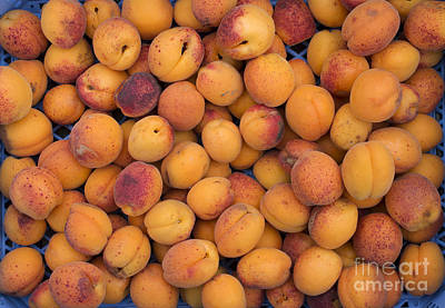Apricot Photograph - Apricot Moorpark Harvest by Tim Gainey