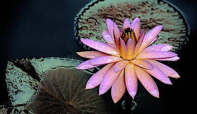 Aquatic Beauty Night Blooming Water Lily Print by Julie Palencia