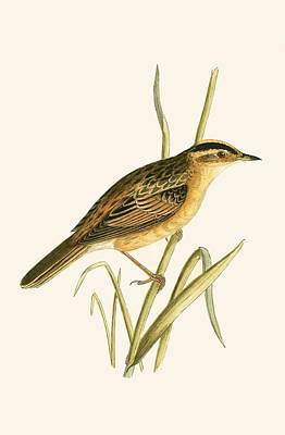Warbler Drawing - Aquatic Warbler by English School