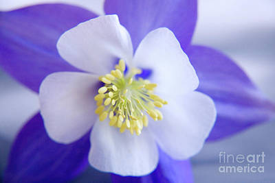 Fragility Photograph - Aquilegia by Julia Hiebaum