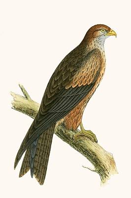 Hawk Drawing - Arabian Kite by English School