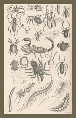 Spider Drawing - Arachnides. Myriapoda by Captn Brown