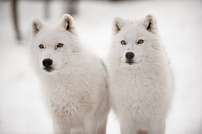 Arctic Wolf Photograph - Arctic Duet by PNDT Photo