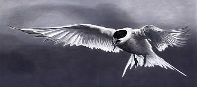Arctic Tern Original by Corrina Thurston