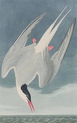 Birds In Flight Drawing - Arctic Tern by John James Audubon