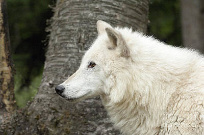 Arctic Wolf Photograph - Arctic Wolf - On Watch by Sandra Bronstein