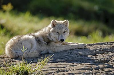 Arctic Wolf Pup Print by Michael Cummings