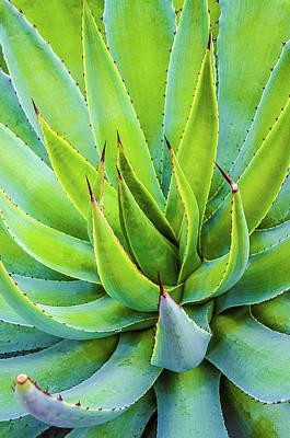 Artichoke Agave Desert Plant Print by Julie Palencia