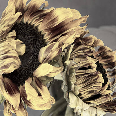 As Sunflowers Fade Print by William Dey