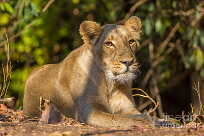 Gir Photograph - Asiatic Lion, India by B. G. Thomson