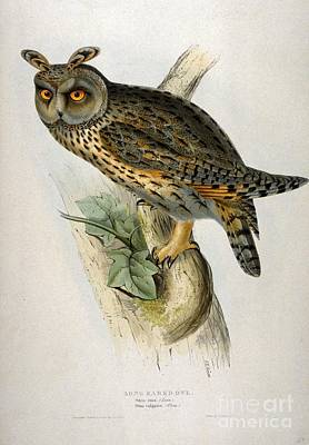 American Eagle Painting - Asio Otus  - Owl by Celestial Images