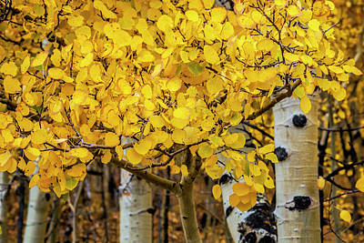 Fall Photograph - Aspen Gold by Andrew Soundarajan