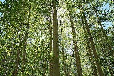 West Fork Photograph - Aspen Green by Eric Glaser