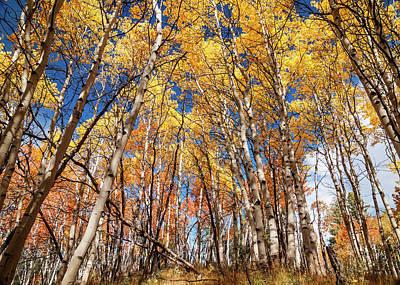 Aspen Grove With Peak Autumn Color Print by Vishwanath Bhat
