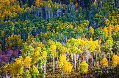 Aspen Hillside Print by Inge Johnsson