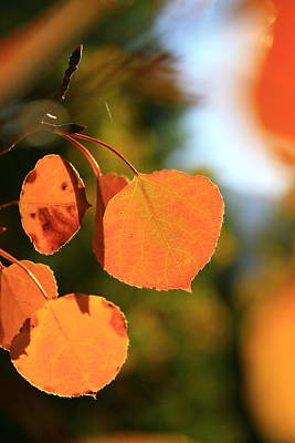 Photograph - Aspen Leaves by Crystal Magee