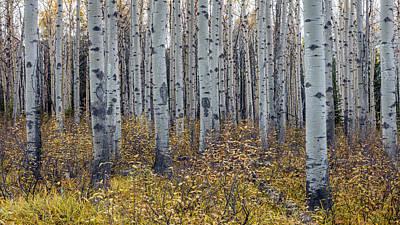 Autumn Photograph - Aspen Trees In Autumn by Pierre Leclerc Photography