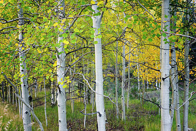 Aspens In Autumn 6 - Santa Fe National Forest New Mexico Print by Brian Harig