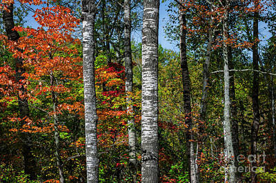 Aspens In Fall Forest Print by Elena Elisseeva