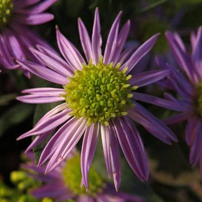 Photograph - Aster by Patricia Urato