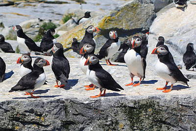 Atlantic Puffin Colony Print by John Burk