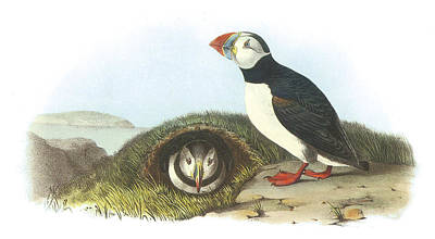 Puffin Painting - Atlantic Puffin by John James Audubon