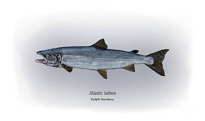 Salmon Drawing - Atlantic Salmon by Ralph Martens