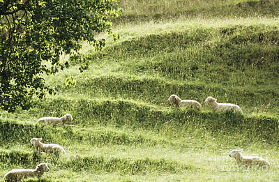 Auckland Sheep Grazing Print by Larry Dale Gordon - Printscapes
