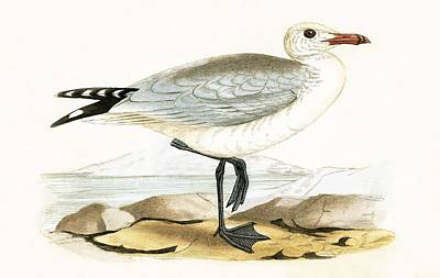 Seagull Drawing - Audouin's Gull by English School
