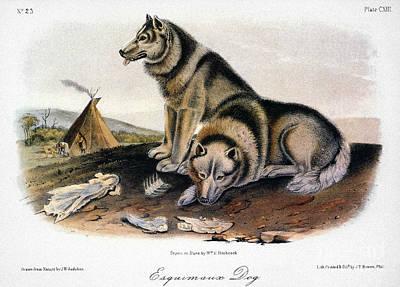 Artflakes Photograph - Audubon: Eskimo Dog by Granger