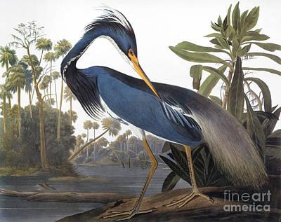 Audubon Photograph - Audubon: Heron, 1827 by Granger