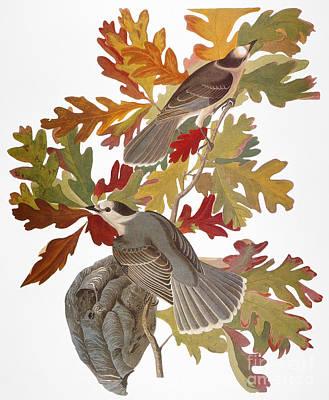 Audubon: Jay Print by Granger