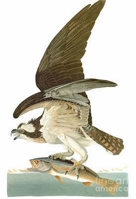 Engraving Photograph - Audubon: Osprey by Granger